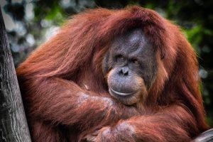 Singapore zoo orangutan